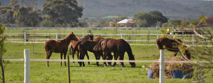 thoroughbred yearling horses playing in the paddocks